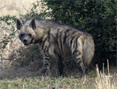India, vogelreis, striped hyena
