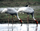 Saruskraanvogel
