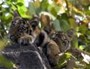 tijgerwelpen