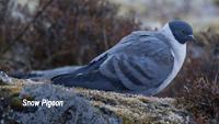 Bhut-snow-pigeon