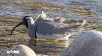 Bhut-wp-ibisbill