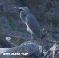 Bhut-wp-white-bellied heron