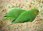 Rufous fronted parakeet, Colombia