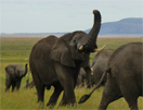 Tanolifant