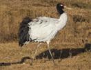 bhu-crane