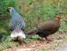 Blood Pheasant, Bhutan