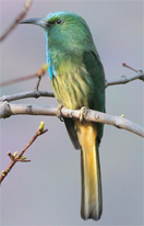Bluebearded Beeeater