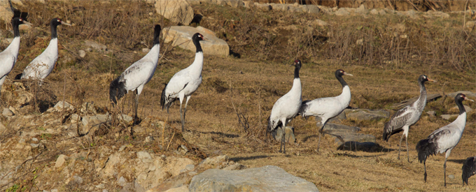 boven-bhut-B-kraanvogels