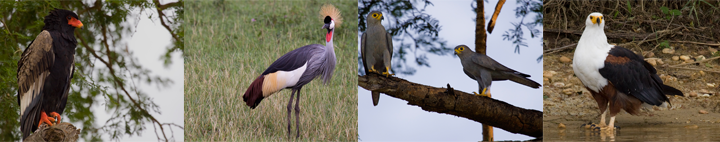 Oeganda, Blue Elephant, Big Five, Wildparken, Vogels