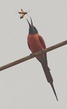 carminebeeeater, Gambia, Blue Elephant, vogelreis
