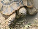 Griekse landschildpad