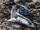 grijze zeehond Schotland