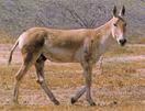 wilde ezel