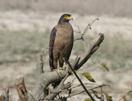indische-slangenarend, India, vogelreis,