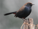 Indian robin © Hans de Waard