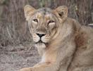 Indische leeuw © Hans de Waard