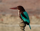 Smyrnaijsvogel © Hans de Waard