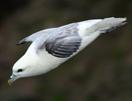 noordsestormvogel1