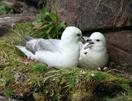 noordsestormvogelpaartje