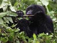 gorilla, Oeganda, Blue Elephant, Big Five, Wildparken, Vogels