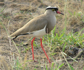 oega-lapwing, Oeganda, Blue Elephant, Big Five, Wildparken, Vogels