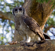 Verreaux Eagle Owl, Oeganda, Blue Elephant, Big Five, Wildparken, Vogels
