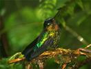 Fiery-throated Hummingbird, Panama, Blue Elephant, Vogelreis