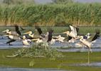 witte pelikanen, doneaudelta