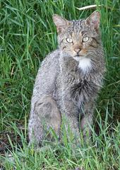 roe-wildekat