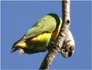 Senegalparkiet