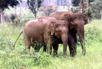 Indische olifant in Uda Walawe, Sri Lanka, Blue Elephant, Vogelreis