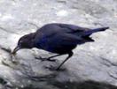 Taiwan Blue Whistling Thrush