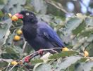 Formosa Magpie