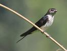 Striated Swallow