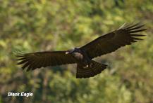 Black Eagle, Zwarte arend