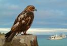 Galápagos Hawk, Galapagos, Blue Elephant, Vogelreis