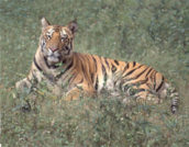 tiger-nwsbr