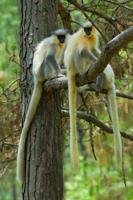 Golden Langur, Bhutan, Manas, Blue Elephant, Vogelreis