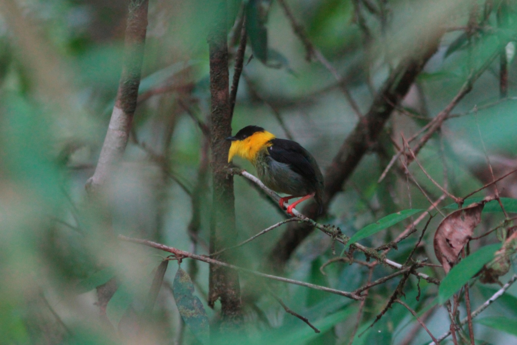 Golden-collared Manakin, Colombia, Vogelreis, Blue Elephant