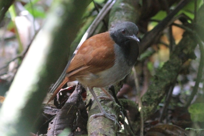 White-bellied Antbird, Colombia, Blue Elephant, Vogelreis