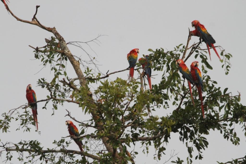 Blauwgele, Rode en Groenvleugelara, Colombia, Blue Elephant