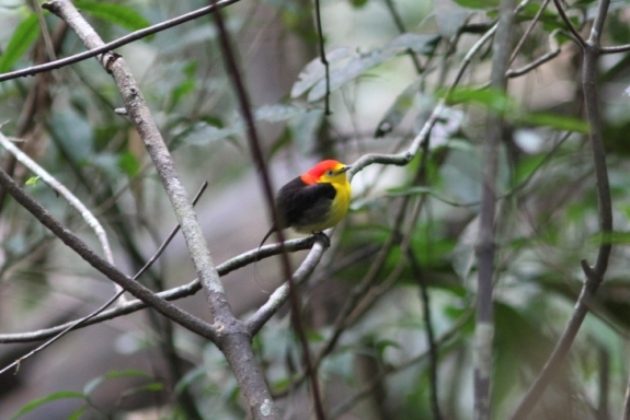 wire tailed manakin, Blue Elephant, Vogelreis, Colombia