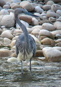 White-bellied Heron, Blue Elephant, Bhutan, Birdwatching