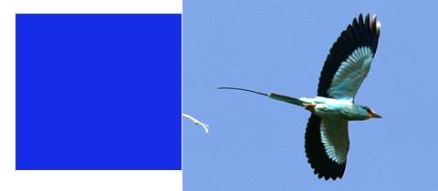 Gambia, vogelen, Afrika voor beginners, Blue Elephant