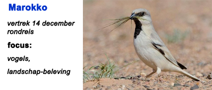 Marokko, Blue Elephant, vogelreis, birdwatching, desert Finch