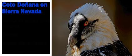 Blue Elephant, vogelreis, birdwatching, desert Finch, Lammergier, Sierra Nevada, Coto Doñana, Sierra Andújar, Spanje