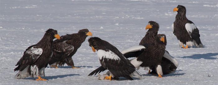 Steller's Sea Eagle, Steller's zeearend, Hokkaido, Japan