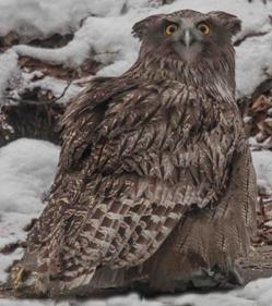 Blakiston's Fish Owl, Hokkaido, BlueElephant