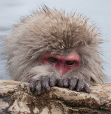 Japanese Macaque, Japanse Makaak, Onsen, Warmwaterbronnen,Jigikudani Park