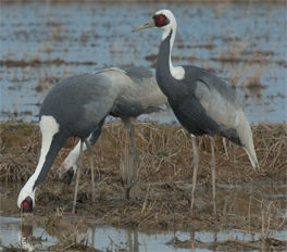 White-naped Crane, Kyushu, Blue Elephant